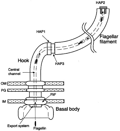 the flagellum unspun Diagram of Fimbrae Flagella figure 1 the eubacterial flagellum the flagellum is an ion powered rotary motor, anchored in the membranes surrounding the bacterial cell this schematic